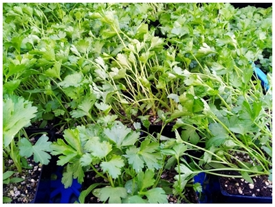 easy herbs to grow, indoor herbs, best herbs to grow, pesto